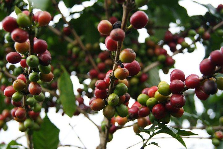 Da Lat Coffee